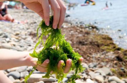 Rumput Laut Sahabat Kulit